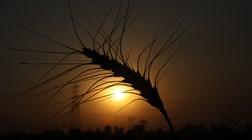 EUA superam Rússia e voltam a ser maior exportador de trigo