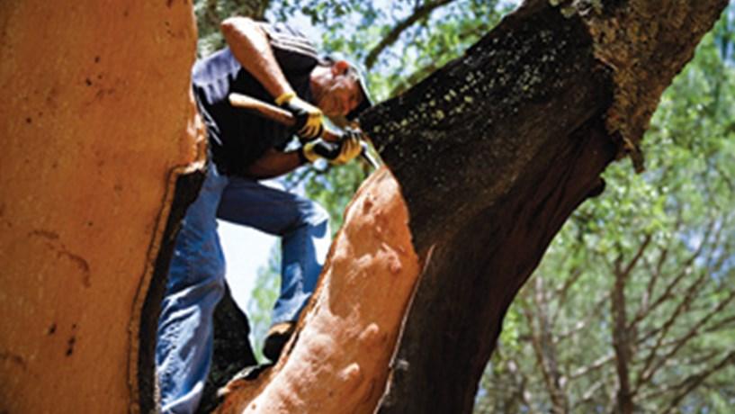 Sobreiros passam a dar cortiça aos 8 anos em vez de 25