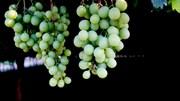 ASAE apreende 106 barris de vinho à pressão por venda fraudulenta