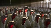 Abate de aves obriga Estado a pagar 12 milhões de euros a produtores
