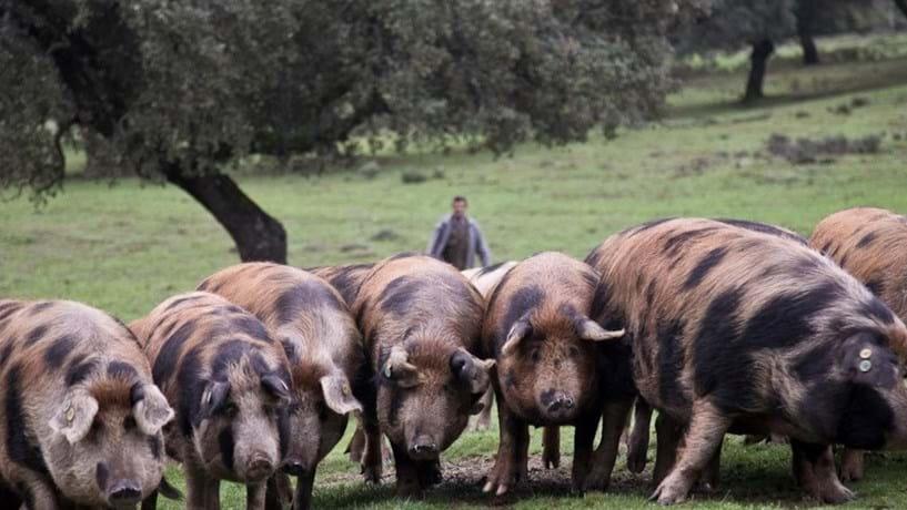 O suíno é a mercadoria de pior desempenho por excesso de oferta