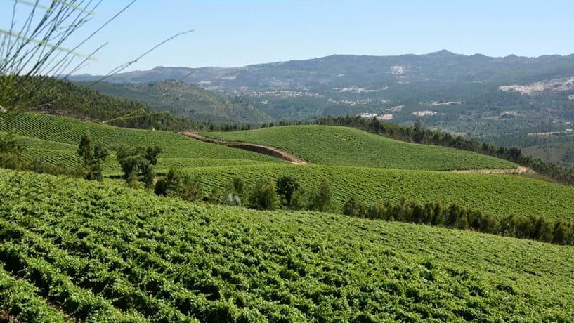 Produção mundial de vinho vai ser das piores dos últimos 20 anos