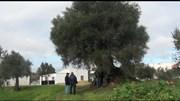 Aldeia em Abrantes debate transferência de oliveira milenar para Londres