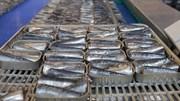 """Conserveiras acham """"absolutamente impensável"""" parar a pesca da sardinha"""