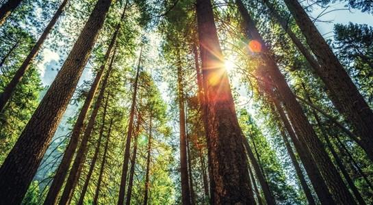 77% do investimento em reflorestação foi feito em eucaliptos