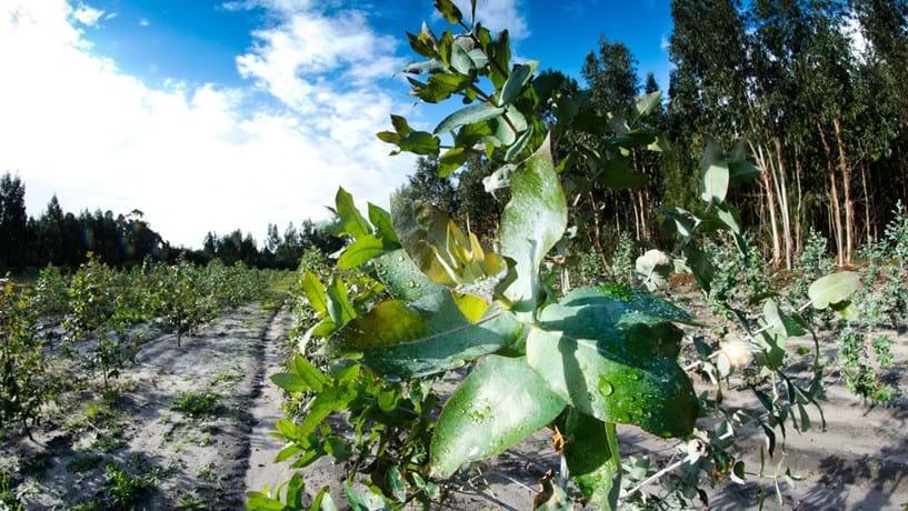 Governo assegura que quer aumentar a produção do eucalipto
