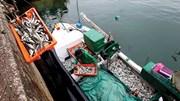 Organizações ambientais: carapau pode ser uma alternativa à sardinha