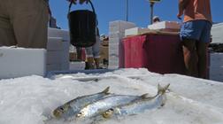 Sardinha é o peixe que dá mais dinheiro