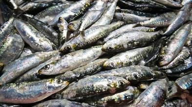 Preço da sardinha mais do que triplicou em seis anos